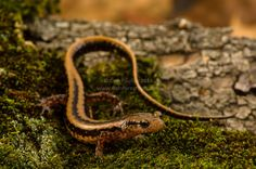 All sizes | Three-lined Salamander (Eurycea guttolineata) | Flickr - Photo Sharing!