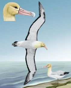 Short-tailed Albatross - Whatbird.com