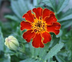 images of buds and flowers | Tagetes patula flower and bud, 2010.