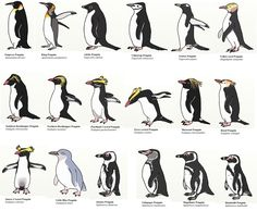 Penguins are a group of aquatic, flightless birds living almost exclusively in the Southern Hemisphere, especially in Antarctica. Different Types Of Penguins, Kinds Of Penguins, Penguins And Polar Bears, Baby Penguins, Penguin Day, Penguin Craft, Penguin Love, Penguin Types, Penguin Parade