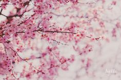 blooming trees, nature photography, flower photography, spring flowers, pink flowers by hello twiggs
