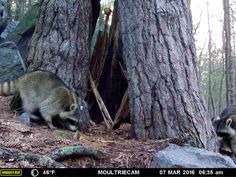A pair of hungry racoons  - Devil's Lake State Park Critter Cams. www.devilslakewisconsin.com