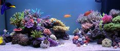 My favorite reef tank of all time...Sunnyx's... I hope someday mine can look as nice!