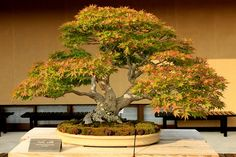 "Bonsai / 山もみじ 紅陵 Yamamomiji ""Koryo"" (Japanese Maple)"