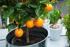 Olivträd, citrus och fikon… Vi är många som älskar de vackra medelhavsväxterna och har upptäckt hur stora och fina de kan bli i kruka över en sommar. Men när den svenska vinterkylan kommer...