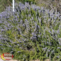 UPRIGHT ROSEMARY Romarinus officianalus Rosemary is a very hardy herbaceous shrub with many ornamental uses in all styles of landscaping.