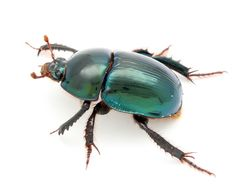 Image result for scarab beetle