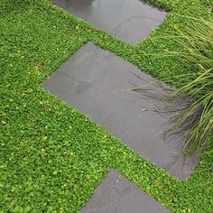 This dichondra ground cover is one of best examples I have seen. This garden at Mosman was designed and installed by Secret Gardens and is also maintained by our talented horticulturists Garden Paving, Hillside Landscaping, Moss Garden, Outdoor Landscaping, Outdoor Plants, Front Yard Landscaping, Grass Alternative, Townhouse Garden, Ground Cover Plants