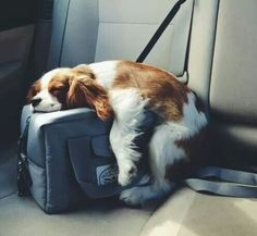 Are you ready for the Cavalier King Spaniel, Cavalier King Charles Dog, King Charles Spaniel, Dog Sleeping Positions, Sleeping Dogs, I Love Dogs, Cute Dogs, Cute Dog Pictures, Spaniel Puppies