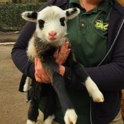 Baby lamb is at the Staten Island Zoo!  #statenisland #animals #cute