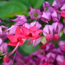 Tanaman Purple Bleeding Heart Vine