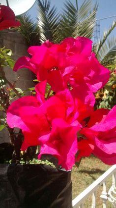 Bugambilia color fucsia.... De mi jardin