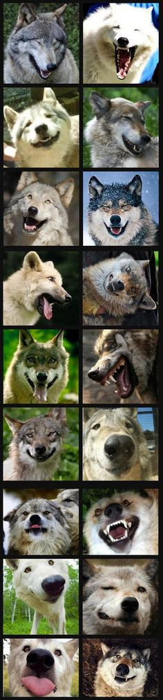 The many expressions of lobos! Wolf Spirit, My Spirit Animal, Animals And Pets, Funny Animals, Cute Animals, Wolf Pictures, Animal Pictures, Beautiful Creatures, Animals Beautiful