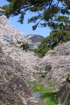#japan #cherryblossoms #kansai #hyogo 夙川公園