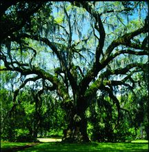City Park's Live Oaks. Forest includes approximately 14,000 mature trees. The largest collection of mature live oaks in the world.