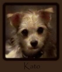 NJ - Kato is an adoptable Yorkshire Terrier Yorkie Dog in Hamilton Square, NJ. MEET KATO - AVAILABLE - NO INQUIRIES WITHOUT APPLICATION (Link Below)  Kato just arrived in NJ and really wants to find h...