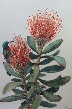painted pincushion protea - Google Search Botanical Drawings, Botanical Illustration, Botanical Prints, Protea Art, Protea Flower, Watercolor Flowers, Watercolor Art, Drawing Flowers, Watercolour Paintings