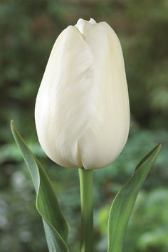 Maureen Tulip Stunning, pure white flowers are perfectly egg-shaped and will tower over other tulips on 28 inch stems. Mayflowering Tulips are treasured for their bright, clear colours, their tall, strong stems, their classic, single tulip flower, and their late bloom time which helps to extend the tulip season. Plant these classics in mixed beds and borders in groups of 5 or more, or in rows in the cutting garden for lots of long-lasting bouquets. Bulb size 12 cm in circ.