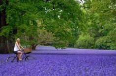 Perhaps we might see a lovely site such as this in May. Carpet of Bluebells, Enys Gardens near Penryn, Wst Cornwall Provence, Life Is Beautiful, Beautiful Flowers, Beautiful Places, Beautiful People, Rain And Thunderstorms, Color Lavanda, Lavender Fields, Lavender Blue