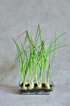 A super simple How-To for growing spring onions at home from food scraps, to re-use numerous times! Two methods that can both be done indoors, with little space and mess and no onion seeds necessary! Growing Spring Onions, Types Of Onions, Spring One, Spring Breakers, Spring Nail Colors, Spring Awakening, Potting Soil, Edible Flowers, Spring Rolls