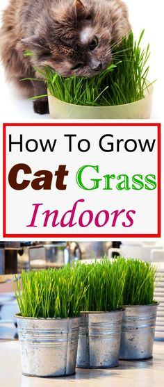 Growing cat grass indoors will keep your cats busy and entertain them. This way they don't need to go outside for grazing where the grass may be treated with pesticides and fertilizer!