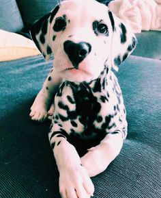 Heart on his nose! Cute Dogs And Puppies, I Love Dogs, Doggies, Cute Baby Animals, Animals And Pets, Tier Fotos, Cute Creatures, Animals Beautiful, Fur Babies