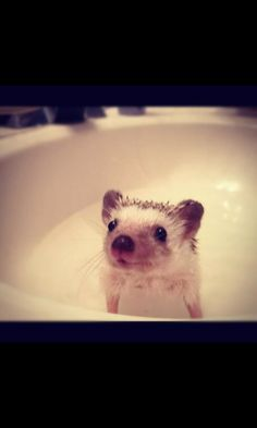 This is what it looks like when you give a baby hedgehog a bath x