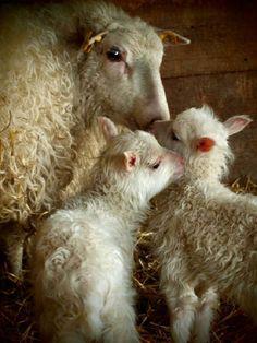 Mamma sheep and babies