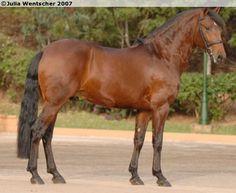 Lusitano - stallion Xerxes Interagro