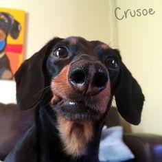 dachshund funny lip