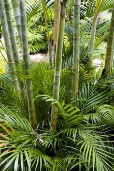 Florida Landscaping, Landscaping Ideas, Growing Bamboo, Bamboo Plants, Plant Species, Warm Weather, Plant Leaves, Tropical, Landscape