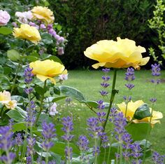 Yellow rose (try St Patrick) with lavender (try hidcote superior - the best)