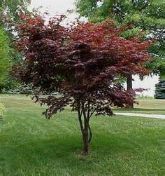 Need a small Japanese Maple for the front yard, should be airy vegetation