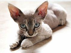 Photo de chaton rex devon