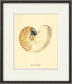 This gorgeous illustration is from a series of hand colored lithographs. It comes from the Belgium book published in the 1800's. This print is digitally enhanced with some odd blemishes left to enhance its antique look. ------------------------------------------------------------------------------------------- To see more sea shell prints, please see the link below: https://www.etsy.com/shop/VictorianWallArt/search?search_query=Sea+shell+&order=date_d...