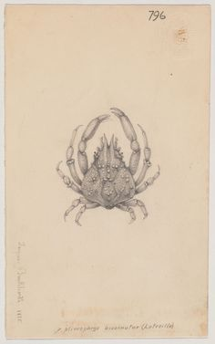 1 crab drawing (6 x 5 cm.) Repository: Ernst Mayr Library, Museum of Comparative Zoology, Harvard University Call number: bAg 168.60.2 (23)