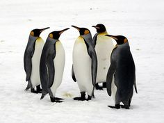 The king penguin is the second largest penguin in the world, after the emperor penguin. Seen at Right Whale Bay on South Georgia Island. Penguin Day, Penguin Parade, King Penguin, Emperor Penguin, South Georgia Island, Flightless Bird, Spirit Animal, Penguins, The Good Place