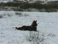 King 7.5 months #OGSD #OldGermanSheepdog #GSD