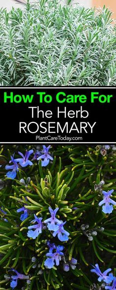 Herbal Gardening Rosemary Plant: How To Care For The Herb Rosemary - Rosemary plant, fragrant, delicious excellent herb to grow, potted or in the garden. Easy care once established, will thrive problem free for years. Growing Tomatoes In Containers, Growing Vegetables, Grow Tomatoes, Growing Herbs Indoors, Garden Care, Diy Herb Garden, Garden Plants, Herb Plants, Fruit Garden