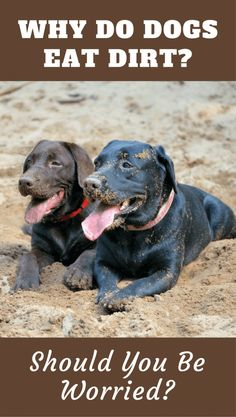 Dog Behavior Quirky behaviors go hand in hand with dog ownership, most can be easily explained, but why do dogs eat dirt? The answers may surprise you. Big Dogs, Cute Dogs, Awesome Dogs, Labrador Retriever Dog, Labrador Puppies, Labrador Facts, Corgi Puppies, Cat Behavior, Training Your Dog
