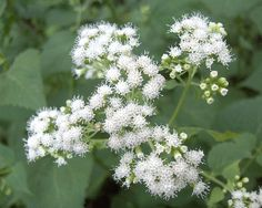 White snakeroot contains the toxin tremetol, which can be poisonous if consumed directly or second-hand. When snakeroot is consumed by cattle, the animals' beef and milk become contaminated with the toxin, and ingesting those substances can lead to a condition called milk sickness. Abraham Lincoln's mother, Nancy Hanks, reportedly died after swallowing snakeroot-contaminated milk. Human disease is uncommon today because of current practices of animal husbandry and the pooling of milk from…