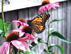 My dad started a butterfly garden a few years back.  It was so easy (just buy a few milkweed plants at a garden center) and butterflies will come, lay their eggs, eat every single leaf off of your plants, and then find a perfect spot to make their chrysalis and transform into a butterfly.  So fun and never gets old :)