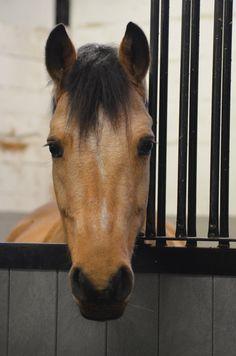 Buckskin horse named Beauty.