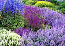 Love Salvia for summer color with height for the yard!  Want to use again this year