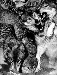Inspiration: Ravening Wolves