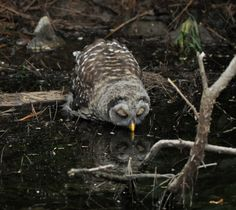 Beautiful, sweet picture of an owl drinking from a pond.
