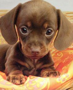 22 Miniatur-Dackel Hunde und Welpen 22 Miniature Dachshund Dogs and Puppies – Cute Baby Animals, Animals And Pets, Funny Animals, Funny Dogs, Cute Animals Puppies, Funny Bulldog, Funny Animal Jokes, Funniest Animals, Super Cute Animals
