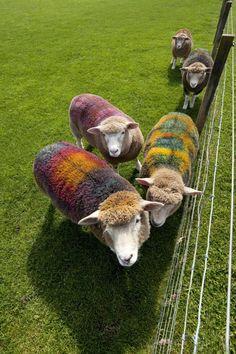 tartan sheeps :) Scotland