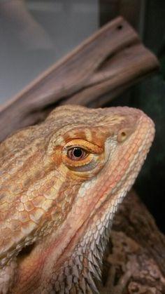 Hunter the bearded dragon