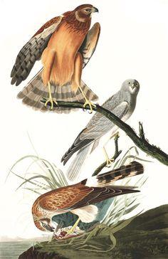 POSTER BIRDS OF AMERICA AUDUBON THE FISH HAWK VINTAGE REPRO FREE S//H